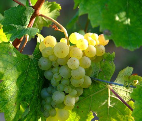grapes-908989_1920